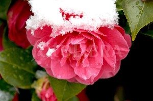 Camellia in the snow